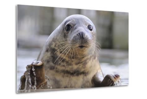 Rescued Grey Seal Pup (Halichoerus Grypus)-Nick Upton-Metal Print