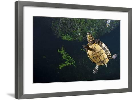 Mesoamerican Slider Turtle - Terrapin (Trachemys Scripta Venusta) in Sinkhole-Claudio Contreras-Framed Art Print