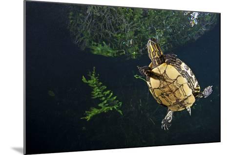 Mesoamerican Slider Turtle - Terrapin (Trachemys Scripta Venusta) in Sinkhole-Claudio Contreras-Mounted Photographic Print