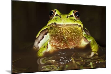 Ridged Tree Frog (Hyla Plicata), Milpa Alta Forest, Mexico, September-Claudio Contreras Koob-Mounted Photographic Print