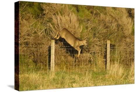 Roe Deer (Capreolus Capreolus) Doe Jumping Stock Fence, Scotland, UK, November 2011-Mark Hamblin-Stretched Canvas Print
