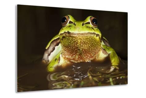 Ridged Tree Frog (Hyla Plicata), Milpa Alta Forest, Mexico, September-Claudio Contreras Koob-Metal Print