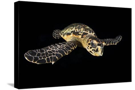 Hawksbill Turtle (Eretmochelys Imbricata) Swimming at Night-Alex Mustard-Stretched Canvas Print