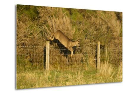 Roe Deer (Capreolus Capreolus) Doe Jumping Stock Fence, Scotland, UK, November 2011-Mark Hamblin-Metal Print