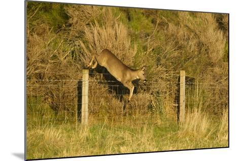 Roe Deer (Capreolus Capreolus) Doe Jumping Stock Fence, Scotland, UK, November 2011-Mark Hamblin-Mounted Photographic Print