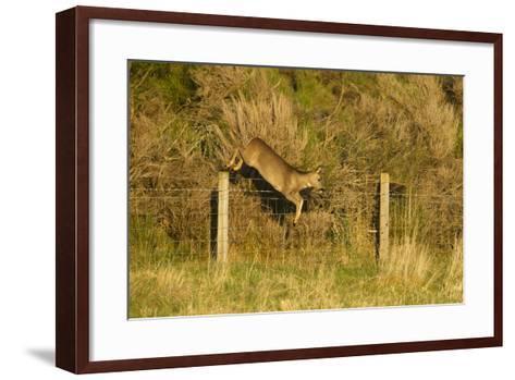 Roe Deer (Capreolus Capreolus) Doe Jumping Stock Fence, Scotland, UK, November 2011-Mark Hamblin-Framed Art Print