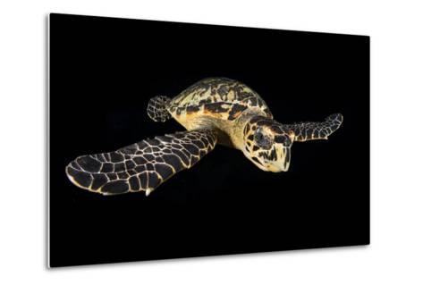 Hawksbill Turtle (Eretmochelys Imbricata) Swimming at Night-Alex Mustard-Metal Print