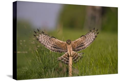 Montagu's Harrier (Circus Pygargus) Female Landing, Germany-Hermann Brehm-Stretched Canvas Print