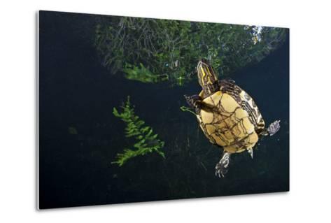 Mesoamerican Slider Turtle - Terrapin (Trachemys Scripta Venusta) in Sinkhole-Claudio Contreras-Metal Print