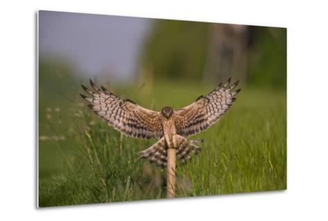 Montagu's Harrier (Circus Pygargus) Female Landing, Germany-Hermann Brehm-Metal Print