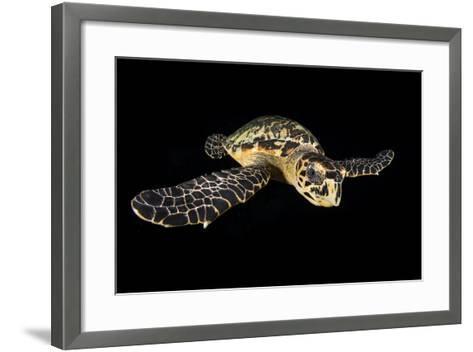 Hawksbill Turtle (Eretmochelys Imbricata) Swimming at Night-Alex Mustard-Framed Art Print