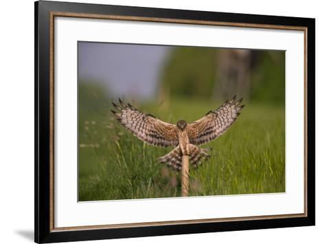 Montagu's Harrier (Circus Pygargus) Female Landing, Germany-Hermann Brehm-Framed Art Print
