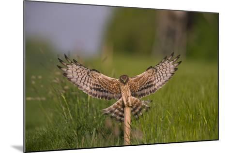 Montagu's Harrier (Circus Pygargus) Female Landing, Germany-Hermann Brehm-Mounted Photographic Print