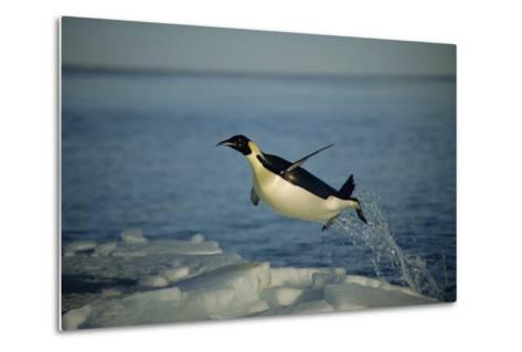 Emperor Penguin Flying Out of Water (Aptenodytes Forsteri) Cape Washington, Antarctica-Martha Holmes-Metal Print