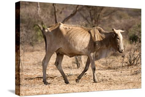 Emaciated Cattle (Bos Indicus) Wandering Alone-Lisa Hoffner-Stretched Canvas Print