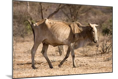 Emaciated Cattle (Bos Indicus) Wandering Alone-Lisa Hoffner-Mounted Photographic Print
