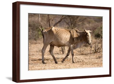 Emaciated Cattle (Bos Indicus) Wandering Alone-Lisa Hoffner-Framed Art Print