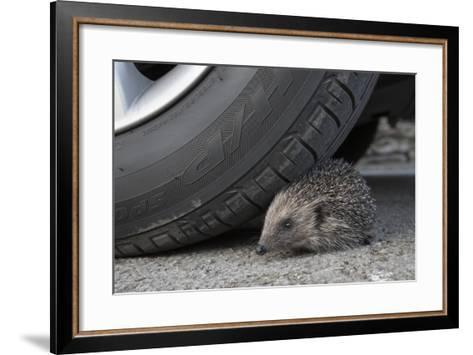 Hedgehog (Erinaceus Europaeus, at Risk by Car Wheel, Controlled Conditions, Captive, England, March-Ann & Steve Toon-Framed Art Print