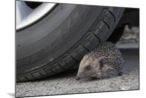 Hedgehog (Erinaceus Europaeus, at Risk by Car Wheel, Controlled Conditions, Captive, England, March-Ann & Steve Toon-Mounted Photographic Print