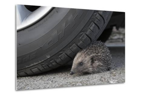 Hedgehog (Erinaceus Europaeus, at Risk by Car Wheel, Controlled Conditions, Captive, England, March-Ann & Steve Toon-Metal Print