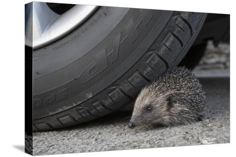Hedgehog (Erinaceus Europaeus, at Risk by Car Wheel, Controlled Conditions, Captive, England, March-Ann & Steve Toon-Stretched Canvas Print