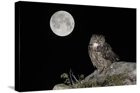Eurasian Eagle Owl (Bubo Bubo) Adult Perched-Andy Trowbridge-Stretched Canvas Print
