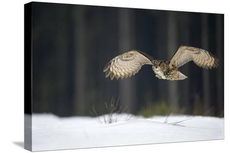 Eurasian Eagle Owl (Bubo Bubo) Flying Low over Snow Covered Grouns with Trees in Background-Ben Hall-Stretched Canvas Print