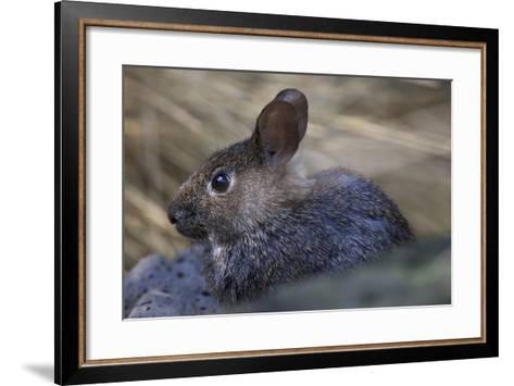 Volcano Rabbit (Romerolagus Diazi) Captive Endemic to Mexico. Critically Endangered Species-Claudio Contreras-Framed Art Print