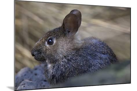 Volcano Rabbit (Romerolagus Diazi) Captive Endemic to Mexico. Critically Endangered Species-Claudio Contreras-Mounted Photographic Print