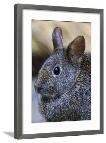 Volcano Rabbit (Romerolagus Diazi) Mexico City, September. Captive, Critically Endangered Species-Claudio Contreras-Framed Art Print