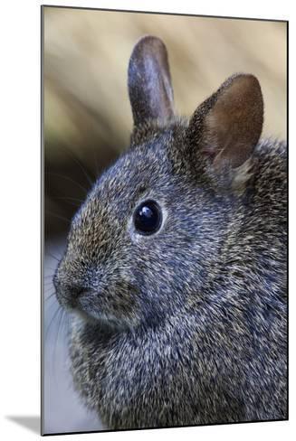 Volcano Rabbit (Romerolagus Diazi) Mexico City, September. Captive, Critically Endangered Species-Claudio Contreras-Mounted Photographic Print