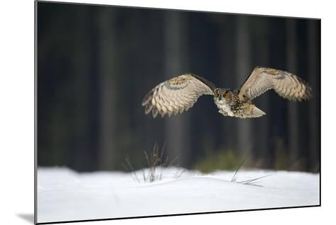 Eurasian Eagle Owl (Bubo Bubo) Flying Low over Snow Covered Grouns with Trees in Background-Ben Hall-Mounted Photographic Print