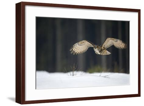 Eurasian Eagle Owl (Bubo Bubo) Flying Low over Snow Covered Grouns with Trees in Background-Ben Hall-Framed Art Print
