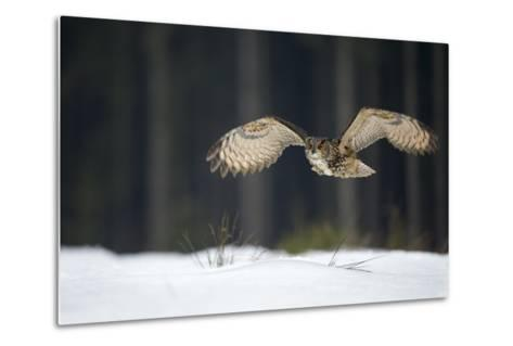 Eurasian Eagle Owl (Bubo Bubo) Flying Low over Snow Covered Grouns with Trees in Background-Ben Hall-Metal Print