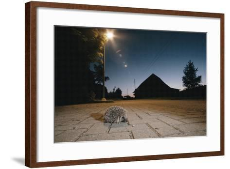 Hedgehog on Pavement at Night (Erinaceus Europaeus) Germany--Framed Art Print