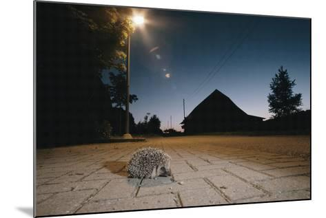 Hedgehog on Pavement at Night (Erinaceus Europaeus) Germany--Mounted Photographic Print
