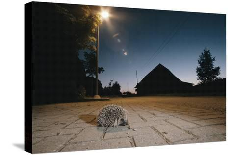 Hedgehog on Pavement at Night (Erinaceus Europaeus) Germany--Stretched Canvas Print