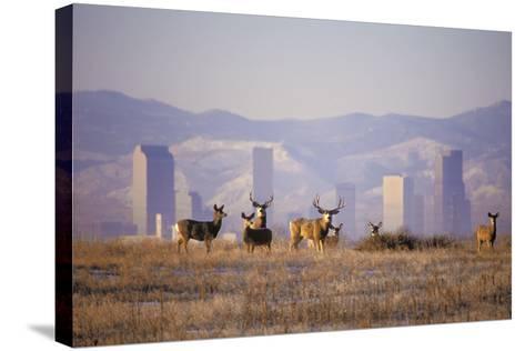 Mule Deer (Odocoileus Hemionus)-Wendy Shattil-Bob Rozinski-Stretched Canvas Print