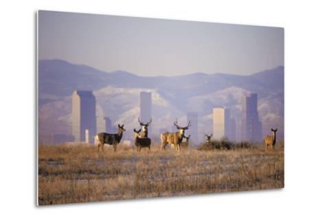 Mule Deer (Odocoileus Hemionus)-Wendy Shattil-Bob Rozinski-Metal Print