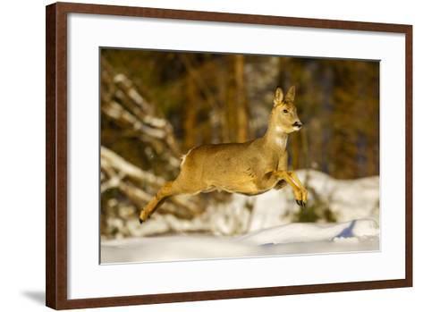 Roe Deer (Capreolus Capreolus) Female Leaping in Snow, Southern Norway, March-Andy Trowbridge-Framed Art Print