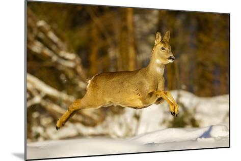 Roe Deer (Capreolus Capreolus) Female Leaping in Snow, Southern Norway, March-Andy Trowbridge-Mounted Photographic Print