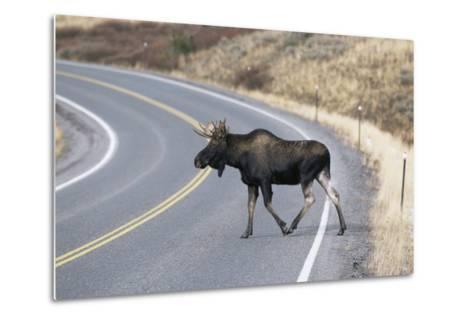 Moose--Metal Print