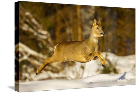 Roe Deer (Capreolus Capreolus) Female Leaping in Snow, Southern Norway, March-Andy Trowbridge-Stretched Canvas Print