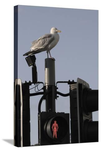 Herring Gull (Larus Argentatus) Perched on Traffic Light Support Post by a Pedestrian Crossing-Nick Upton-Stretched Canvas Print