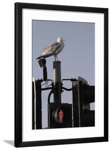 Herring Gull (Larus Argentatus) Perched on Traffic Light Support Post by a Pedestrian Crossing-Nick Upton-Framed Art Print