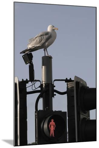 Herring Gull (Larus Argentatus) Perched on Traffic Light Support Post by a Pedestrian Crossing-Nick Upton-Mounted Photographic Print