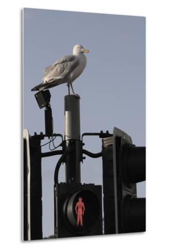 Herring Gull (Larus Argentatus) Perched on Traffic Light Support Post by a Pedestrian Crossing-Nick Upton-Metal Print