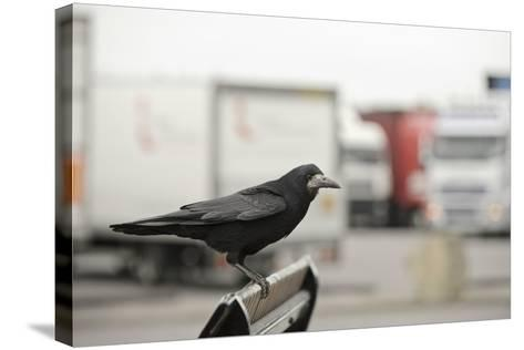 Rook (Corvus Frugilegus) Perched in Motorway Service Area, Midlands, UK, April-Terry Whittaker-Stretched Canvas Print