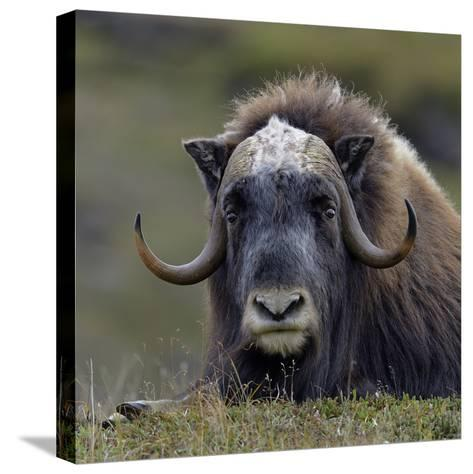 Musk Ox (Ovibos Moschatus) Portrait Whilst Resting, Nome, Alaska, USA, September-Loic Poidevin-Stretched Canvas Print