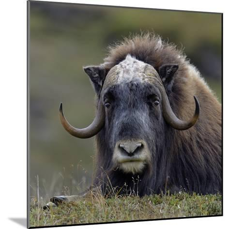 Musk Ox (Ovibos Moschatus) Portrait Whilst Resting, Nome, Alaska, USA, September-Loic Poidevin-Mounted Photographic Print